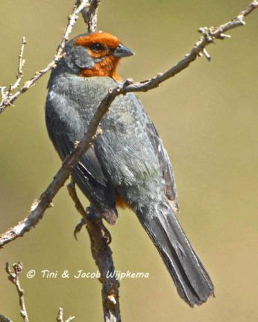 Tucuman Mountain-Finch (Poospiza baeri) Copyright T&J Wijpkema.