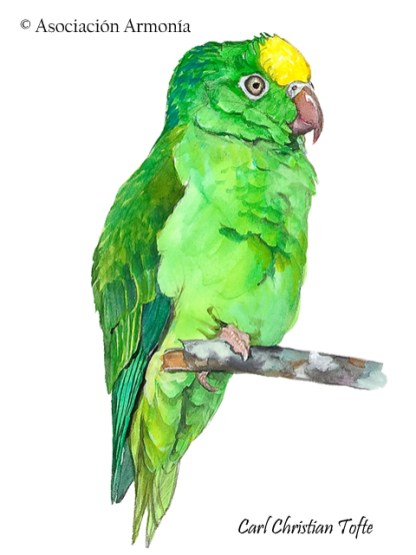 Tui Parakeet (Brotogeris sanctithomae)