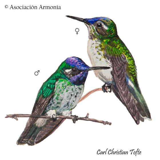 Violet-headed Hummingbird (Klais guimeti)