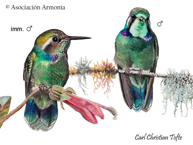 Wedge-billed Hummingbird (Schistes geoffroyi)