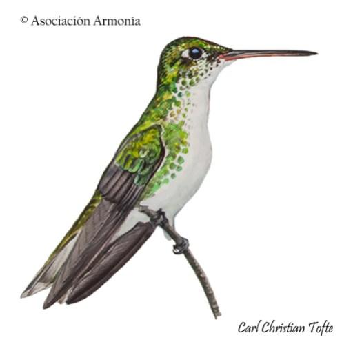 White-bellied Hummingbird (Amazilia chionogaster).