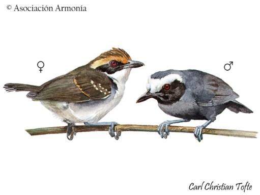 White-browed Antbird (Myrmoborus leucophrys)