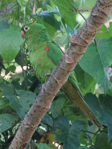 White-eyed Parakeet (Psittacara leucophthalmus). Copyright S Vargas.