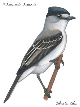 White-naped Xenopsaris (Xenopsaris albinucha)