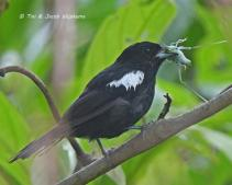 White-shouldered Tanager (Islerothraupis luctuosa), male. Copyright T&J Wijpkema.