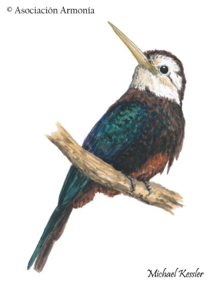 White-throated Jacamar (Brachygalba albogularis)