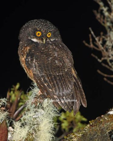 White-throated Screech-Owl (Megascops albogularis). Copyright T&J Wijpkema.