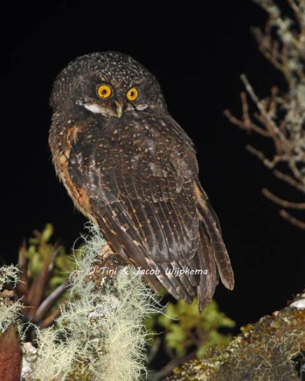 White-throated Screech-Owl (Megascops albogularis). Copyright T&J Wijpkema.