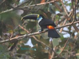 White-throated Toucan (Ramphastos tucanus) Copyright N Vargas