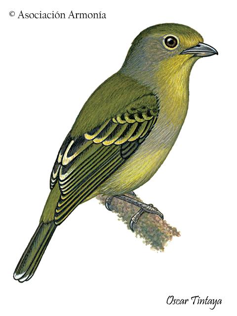 Wing-barred Piprites (Piprites chloris)