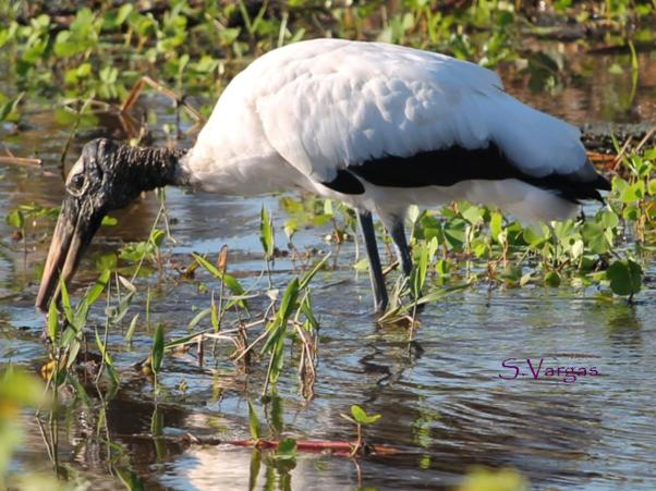 Wood Stork (Mycteria americana) Copyright S Vargas