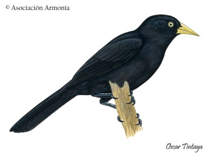 Yellow-billed Cacique (Amblycercus holosericeus)