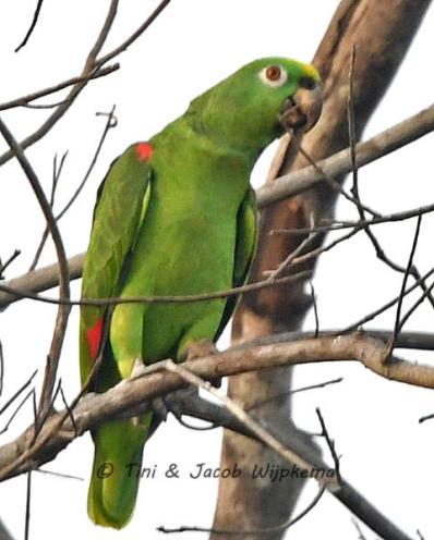 Yellow-crowned Parrot (Amazona ochrocephala). Copyright T&J Wijpkema.