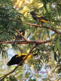 Yellow-rumped Cacique (Cacicus cela) Copyright S Vargas