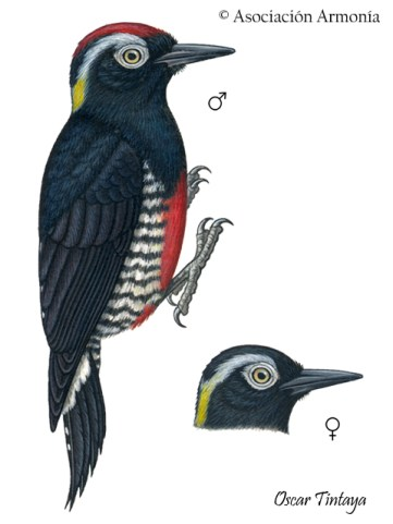 Yellow-tufted Woodpecker (Melanerpes cruentatus)