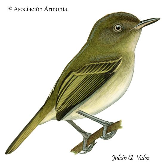 Yungas Tody-Tyrant (Hemitriccus spodiops)
