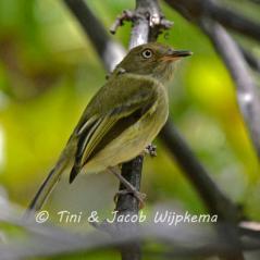 Yungas Tody-Tyrant (Hemitriccus spodiops). Copyright T&J Wijpkema.