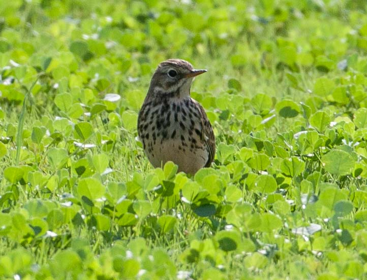 Siberian Buff-bellied Pipit Anthus (rubescens) japonicus