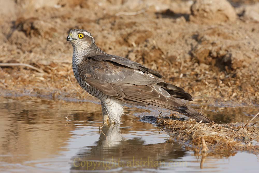 Eurasian_Sparrowhawk_MG_1695
