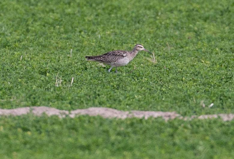 Little_Curlew__MG_7055