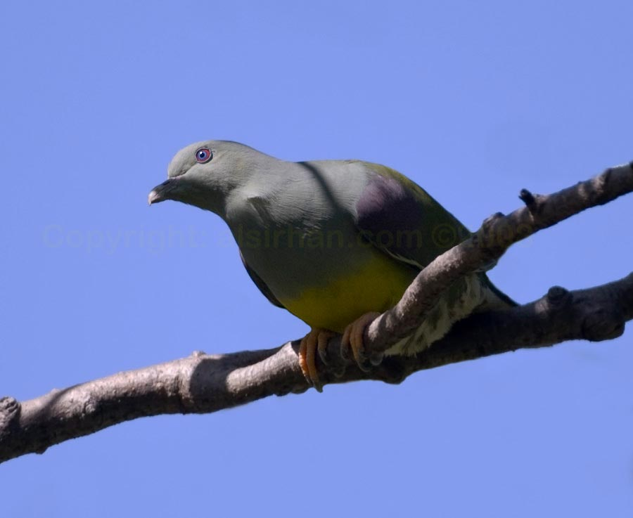 Bruces Green Pigeon