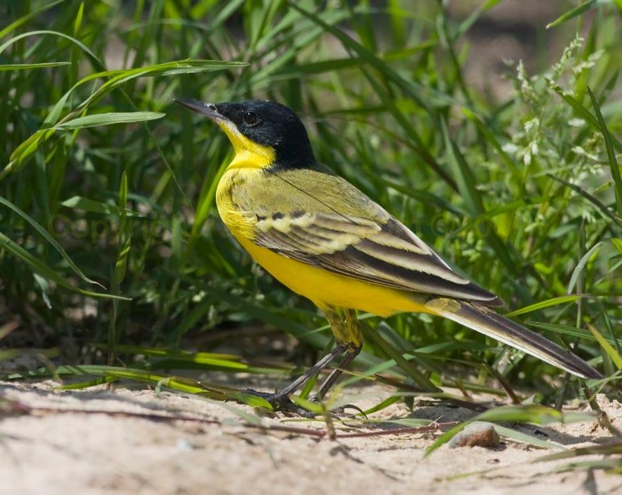 Yellow Wagtail ssp. feldegg