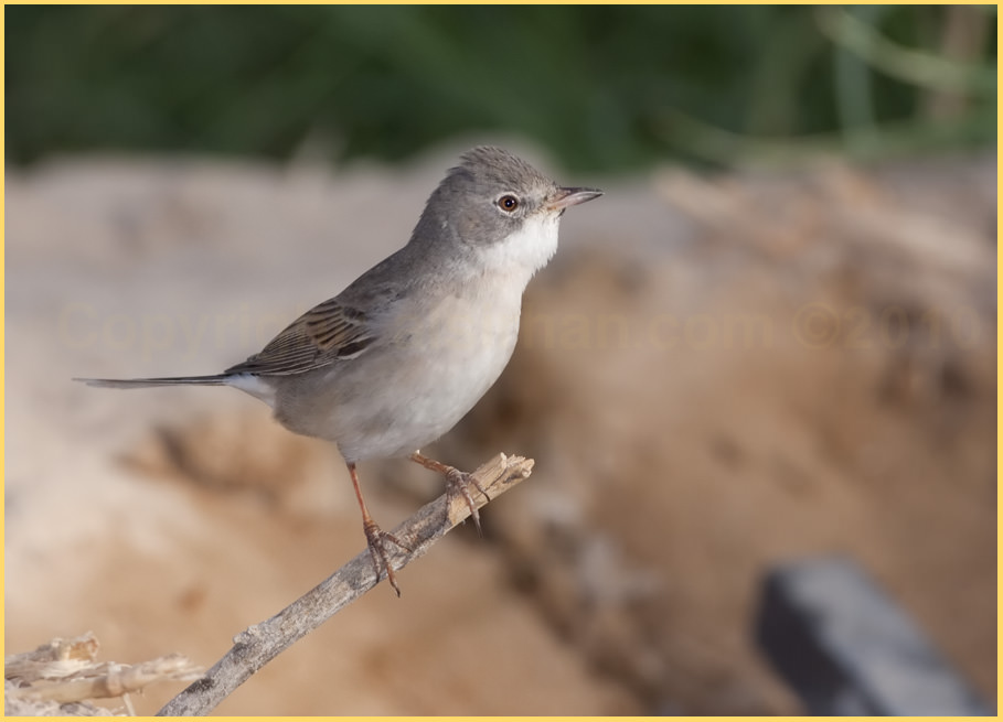 Common Whitethroat Sylvia communis