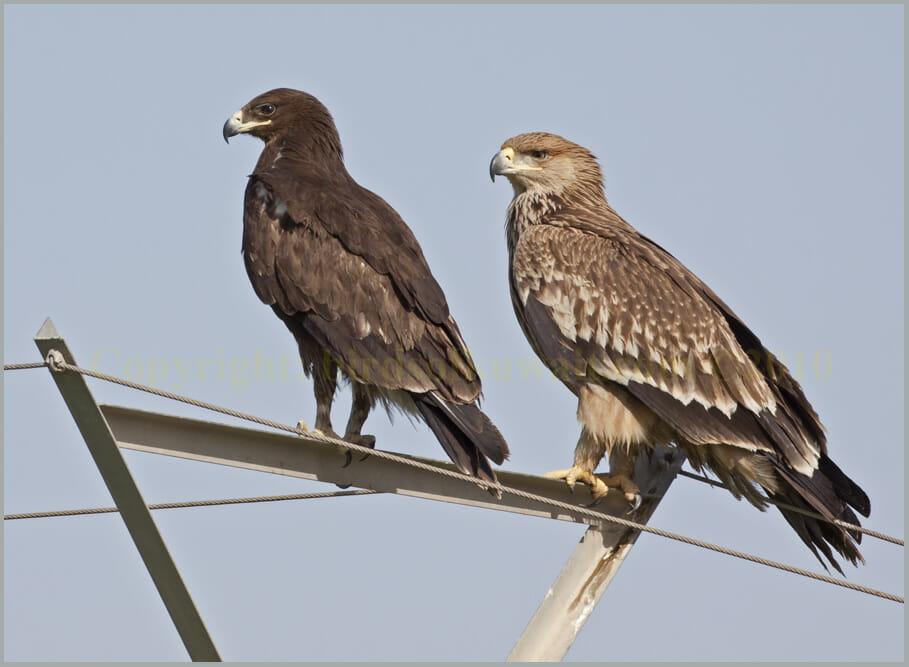 Greater Spotted Eagle Aquila clanga left and Eastern Imperial Eagle Aquia heliaca