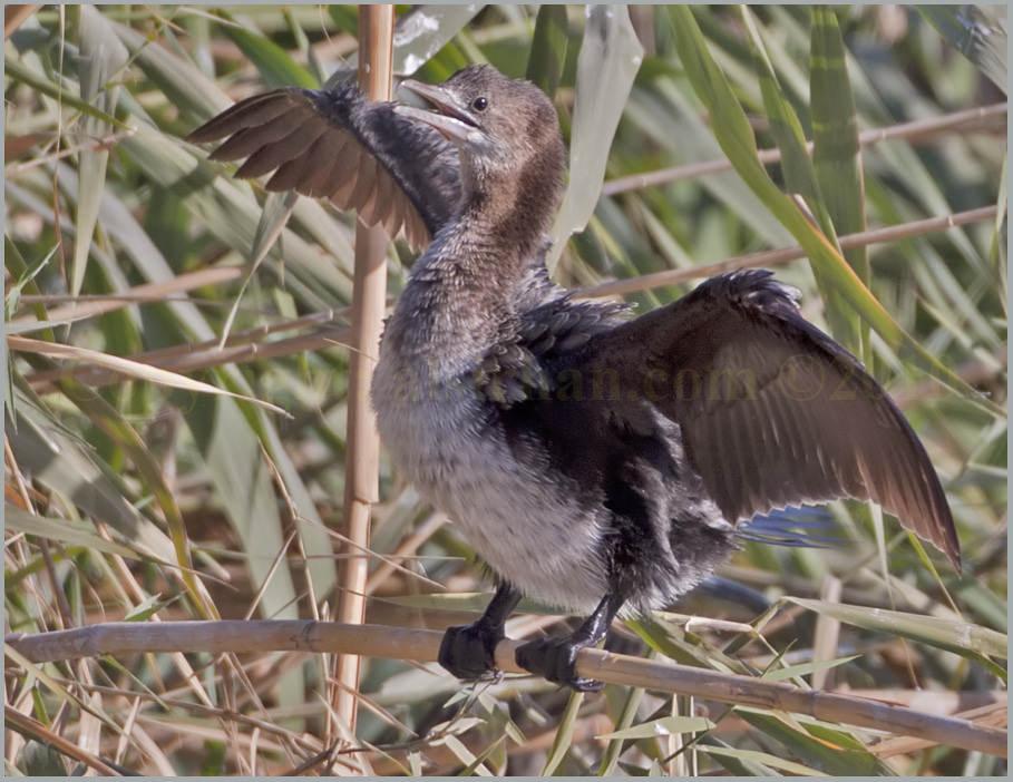 Juvenile Pygmy Cormorant Phalacrocorax pygmeus
