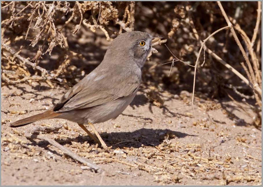 Asian Desert Warbler Sylvia nana