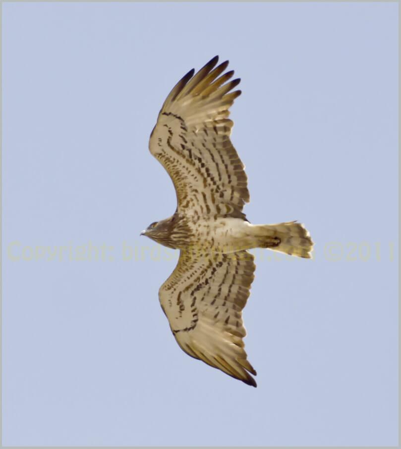 Short-toed Snake Eagle Circaetus gallicus