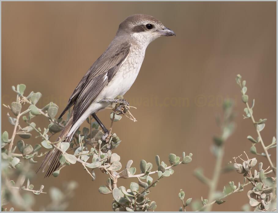 Turkestan Shrike Lanius isabellinus phoenicuroides