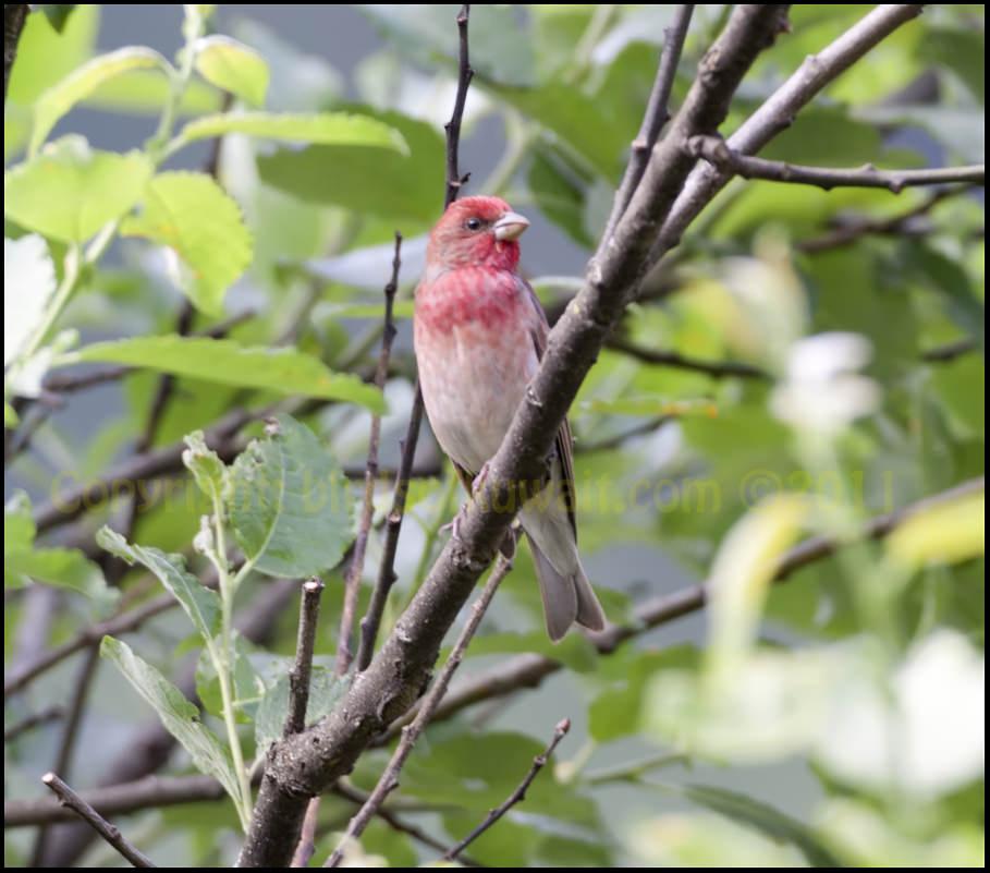 Common Rosefinch Carpodacus erythrinus