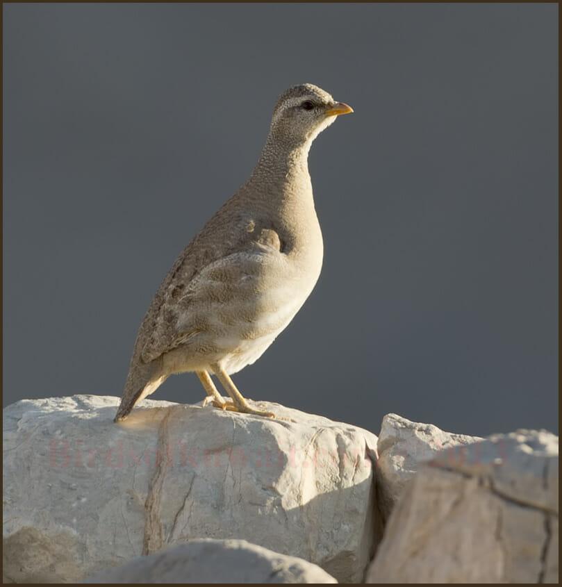 Sand Partridge Ammoperdix heyi female