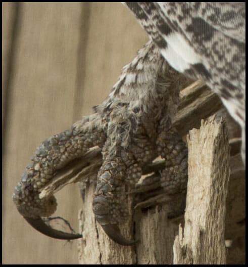Pallid Scops Owl Otus brucei  toess