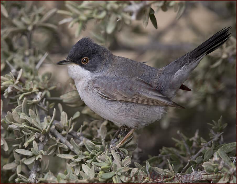 Ménétries's Warbler Sylvia mystacea