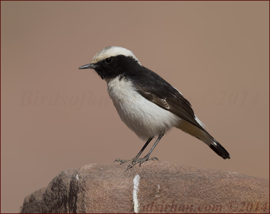 Eastern Mourning Wheatear Oenanthe lugens