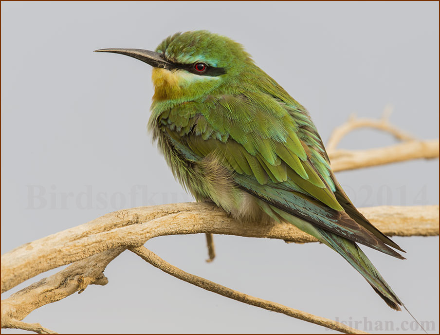 Blue-cheeked Bee-eater Merops persicus