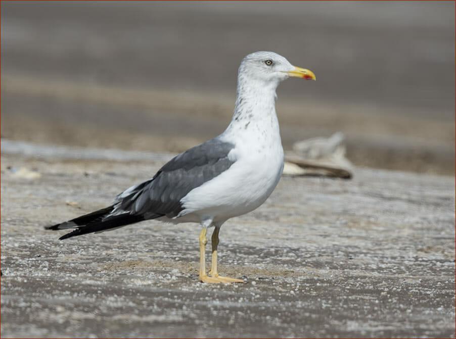 Heuglin's Gull Larus (fuscus/heuglini) heuglini