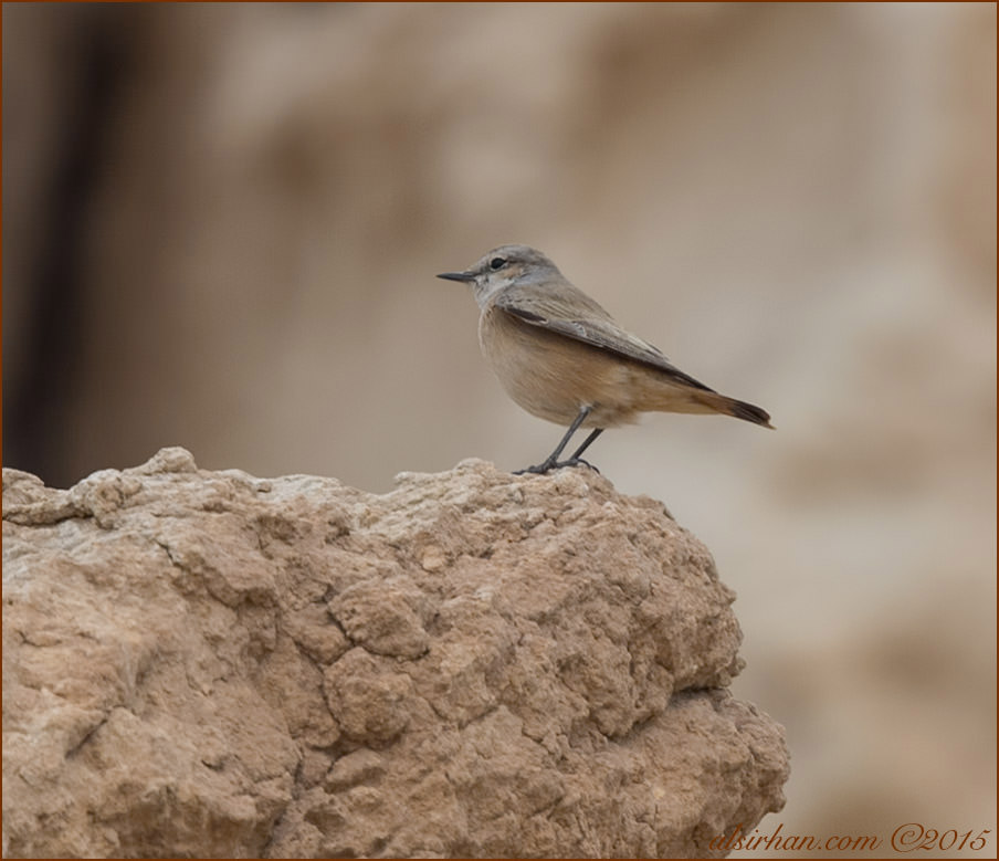 Red-tailed Wheatear Oenanthe chrysopygia