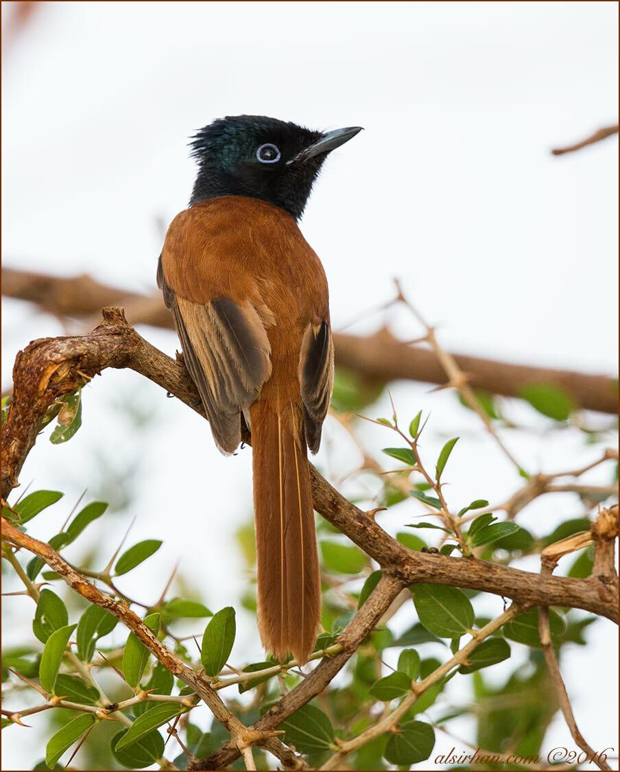 African Paradise-flycatcher Terpsiphone viridis