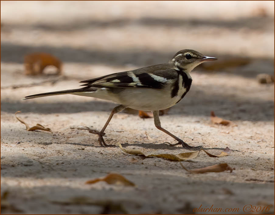 Forest Wagtail Dendronanthus indicus