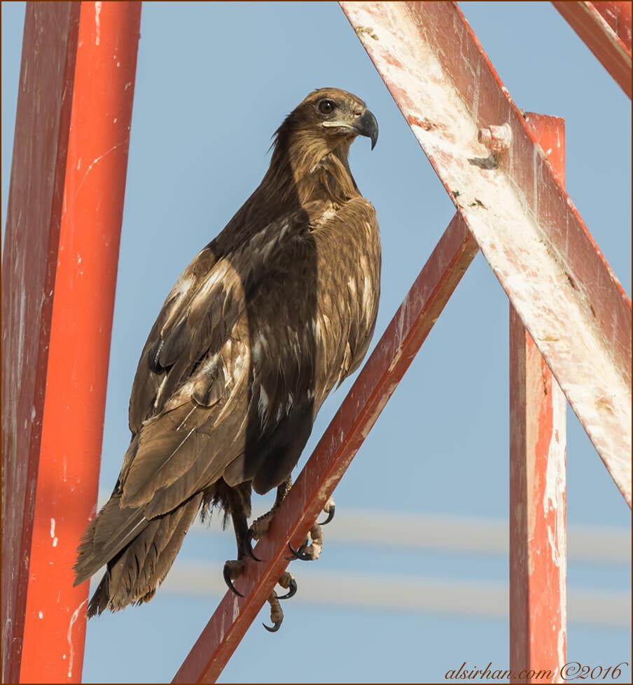 Pallas's Fish-eagle Haliaeetus leucoryphus