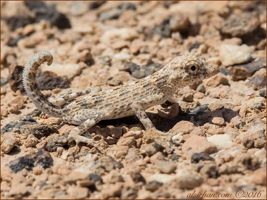 Carter's Semaphore Geckos Pristurus carteri