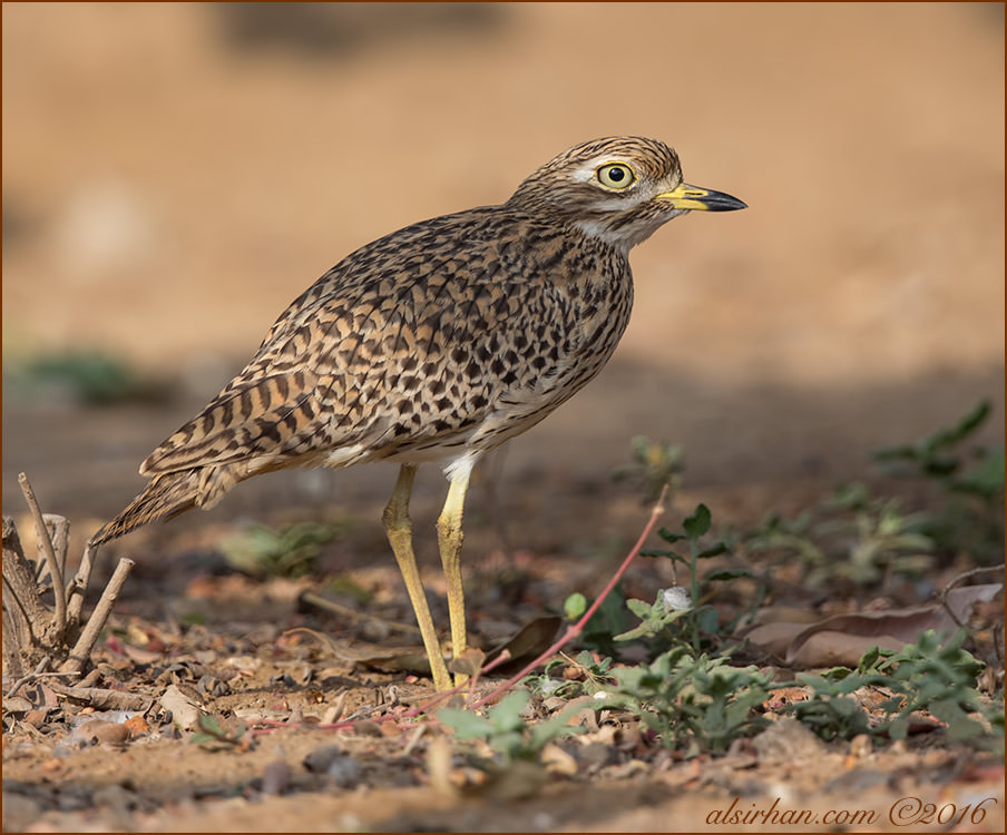 Spotted Thick-knee Burhinus capensis