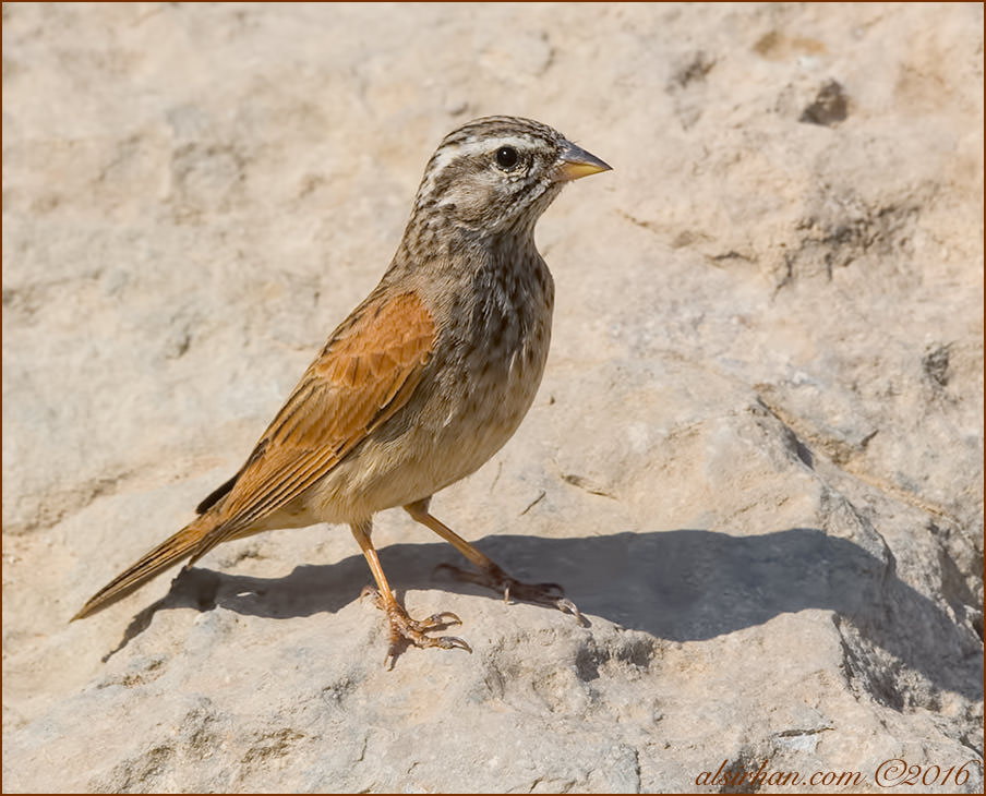 Striolated Bunting Emberiza striolata