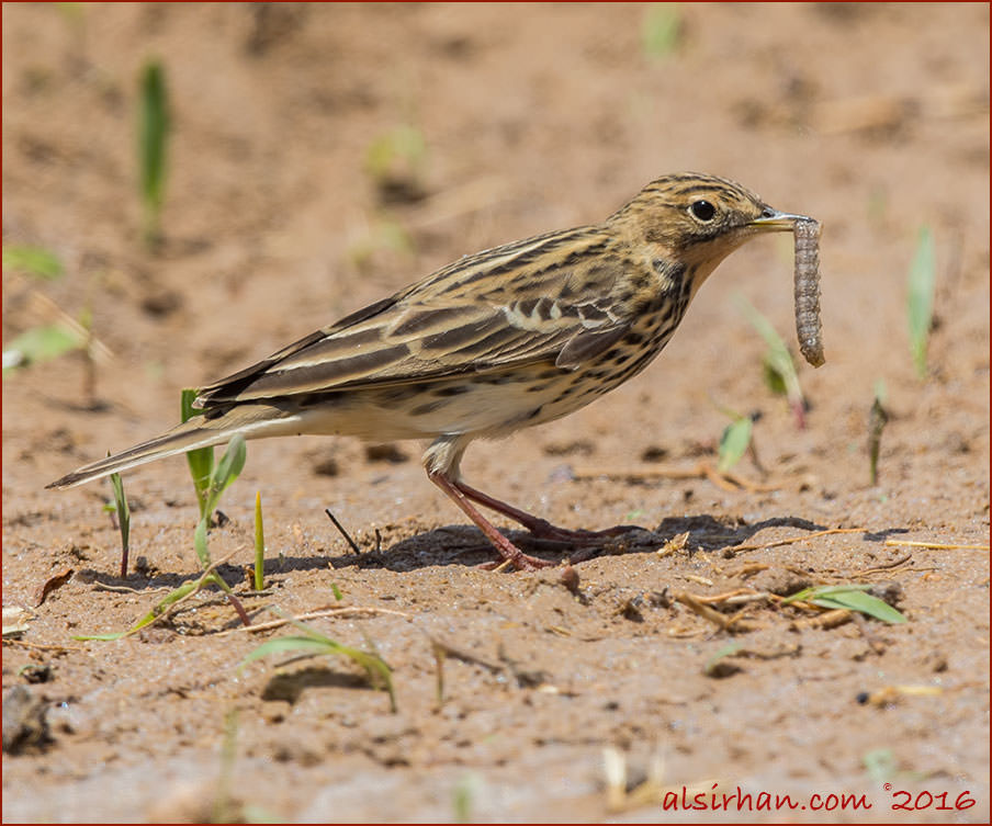 Red-throated Pipit Anthus cervinus , female