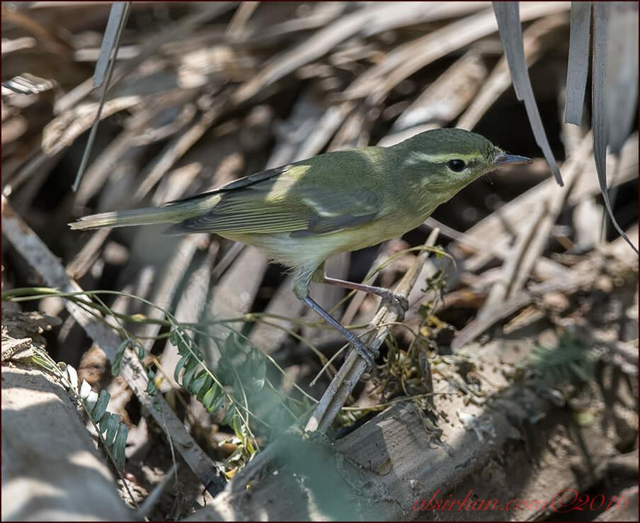 Green Warbler Phylloscopus nitidus