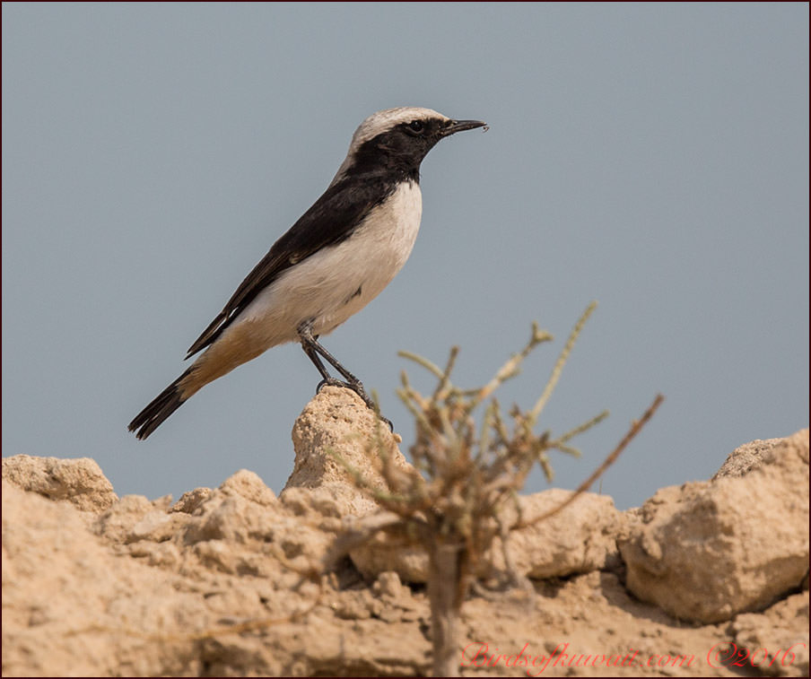 Eastern Mourning Wheatear Oenanthe lugens  persica