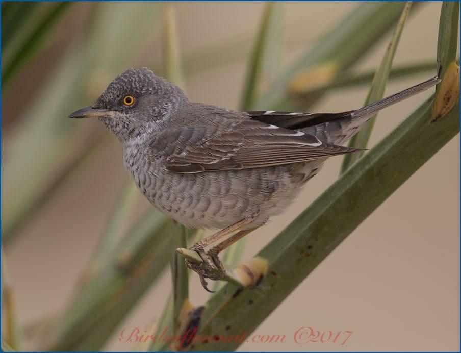 Barred Warbler Sylvia nisoria